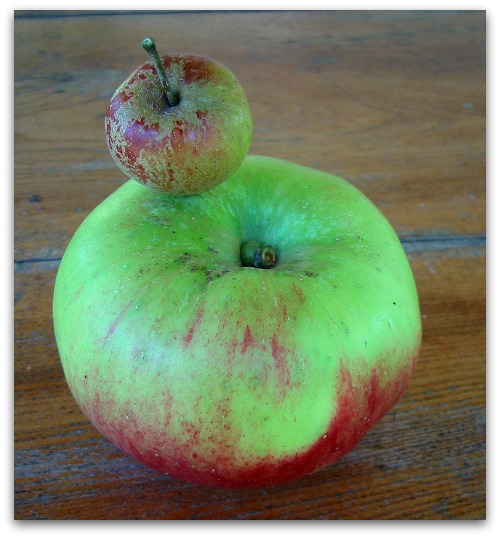 Cherry Cox Pippin Apple atop a Bramley's Seedling Apple