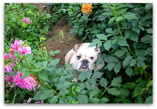 Boz in the garden among the dahlias