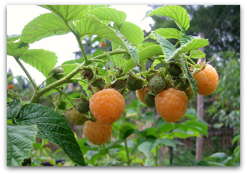 Fall Gold Raspberries growing in the garden