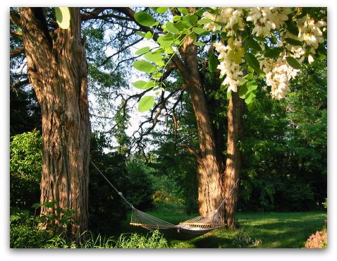 blooming black locust trees on Vashon Island