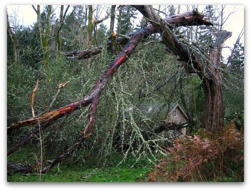 wind storm topples madrona tree