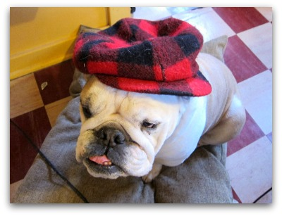 bulldog in a plaid gatsby cap