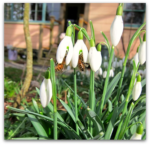 bees on galanthus