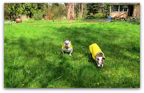 bulldogs and dandelions