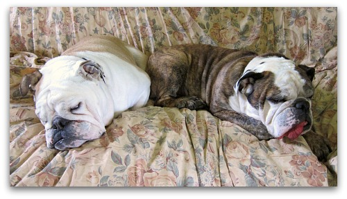 sleeping bulldogs on the sofa