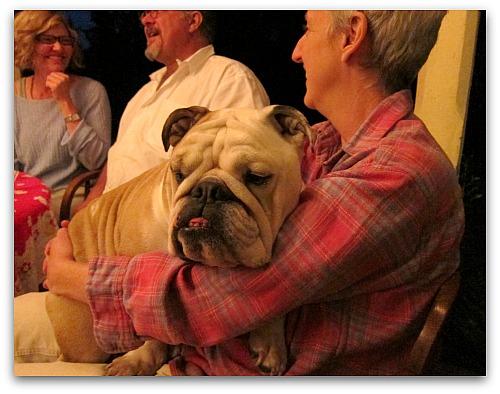 Bulldog in her lap