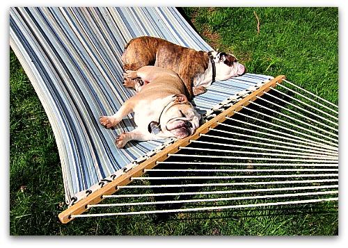 sleeping bulldogs in a hammock