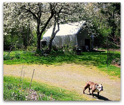 bulldog walking in front of barn