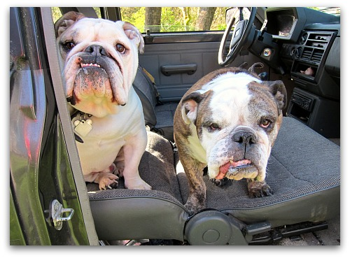 bulldogs in a truck