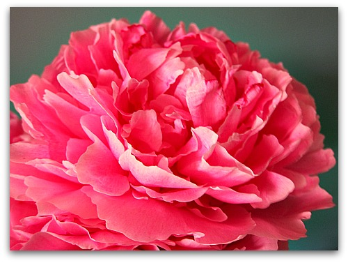 pink peony flower close-up