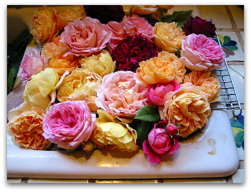 David Austin roses soaking and sipping up a drink in the sink
