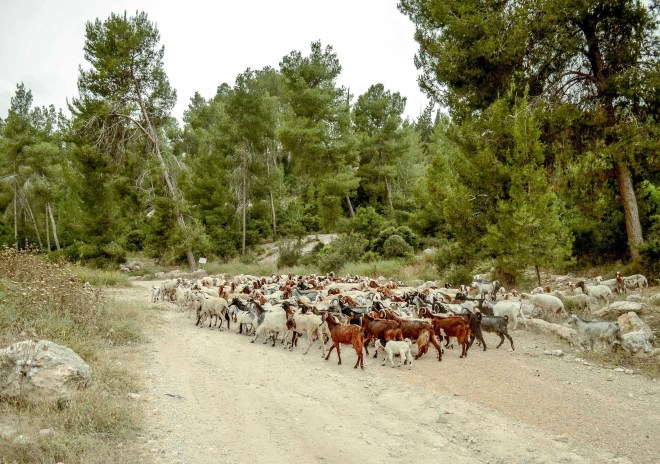A large flock of sheep and goats near Tel Azekah