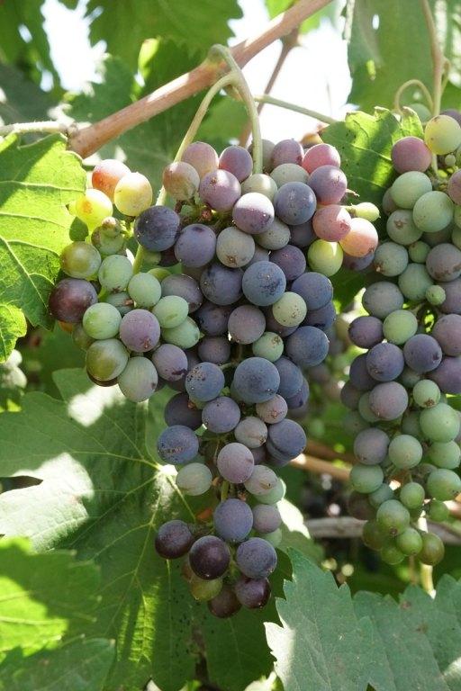אשכול ענבים ביקב טרה נובה