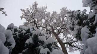 trees, ensnowed
