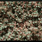 Patikan cina - Euphorbia thymifolia L. - tanaman obat taman husada
