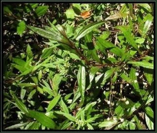 Prasman - Eupatorium triplinerve Vahl. - tanaman obat taman husada