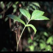 Pronojiwo - Euchresta horsfieldii Benn. tanaman obat taman husada