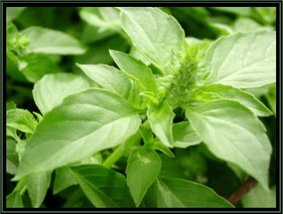 Kemangi - Ocimum basilicum L. - tanaman obat taman husada