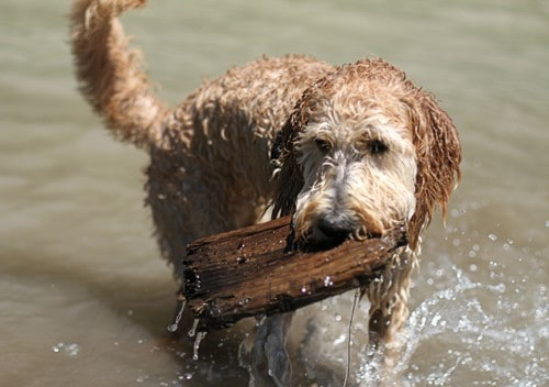goldendoodle in river