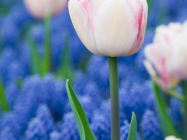 Tulpen en blauwe druifjes keukenhof - muscari