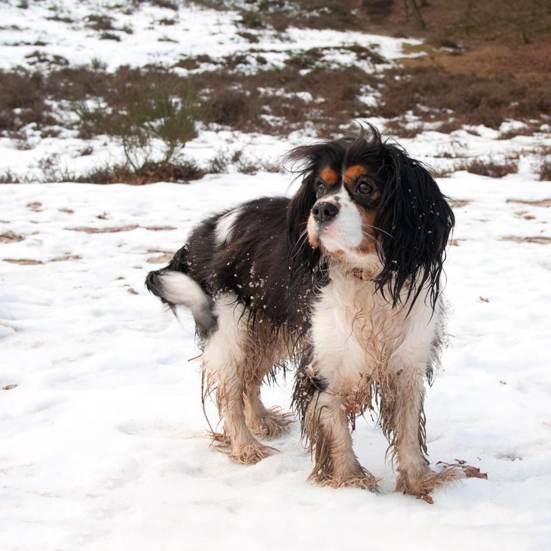 Hond Cavalier King Charles-spaniël in de sneeuw