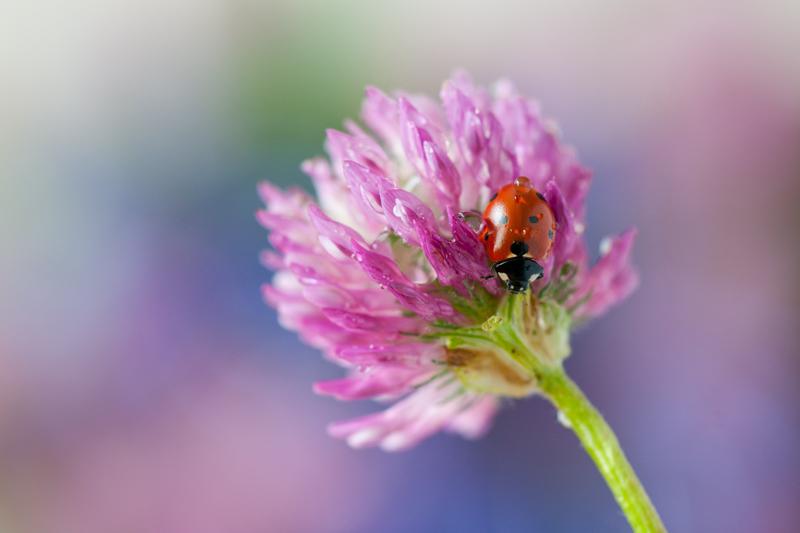Lieveheersbeestje op veldbloem
