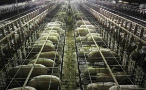 Sow stall at a NSW piggery. Picture: Aussie Farms