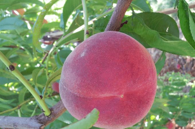 Picking Peaches and Blackberries at Greenbluff, WA