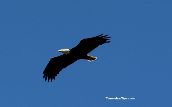 Lake Coeur d'Alene Bald Eagle Watch = FREE Family Fun!