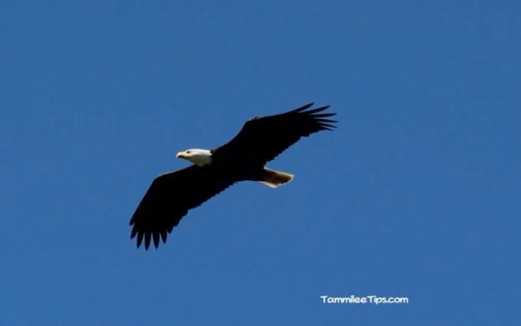 Bald Eagle San Juan Islands