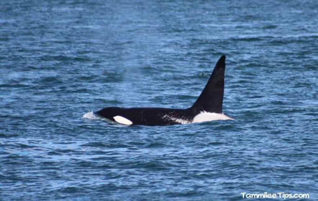 Orca Whale San Juan Excursions Whale Watching Trip