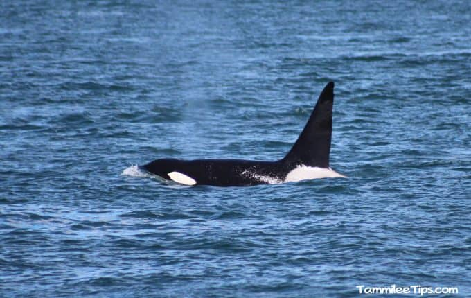 Whale watching in the San Juan Islands with San Juan Excursions