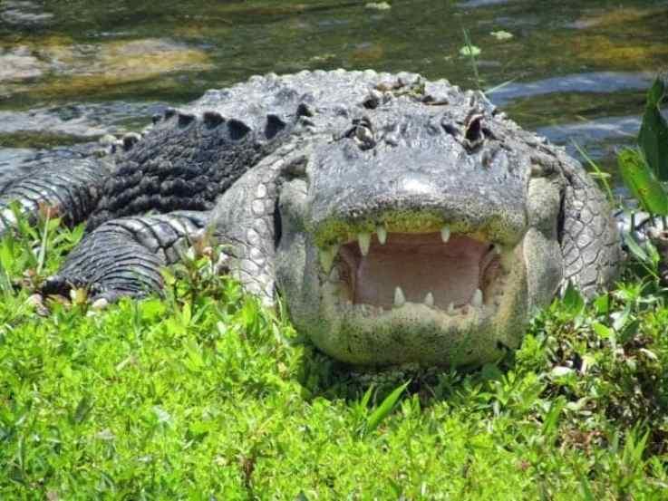 gator-2.jpg