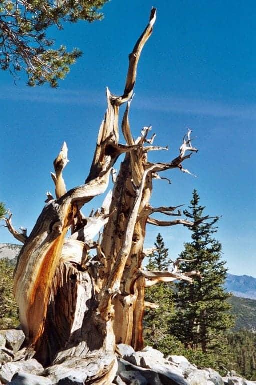 bristlecone-pine.jpg