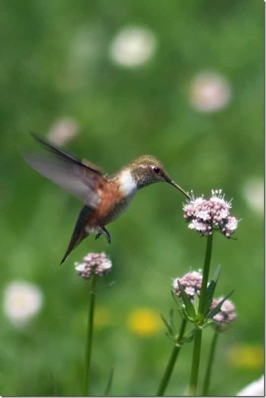 hummingbird picture