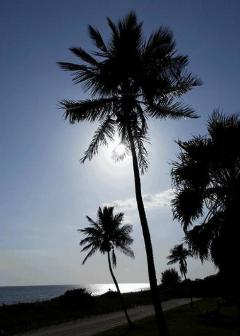sanibel palm trees