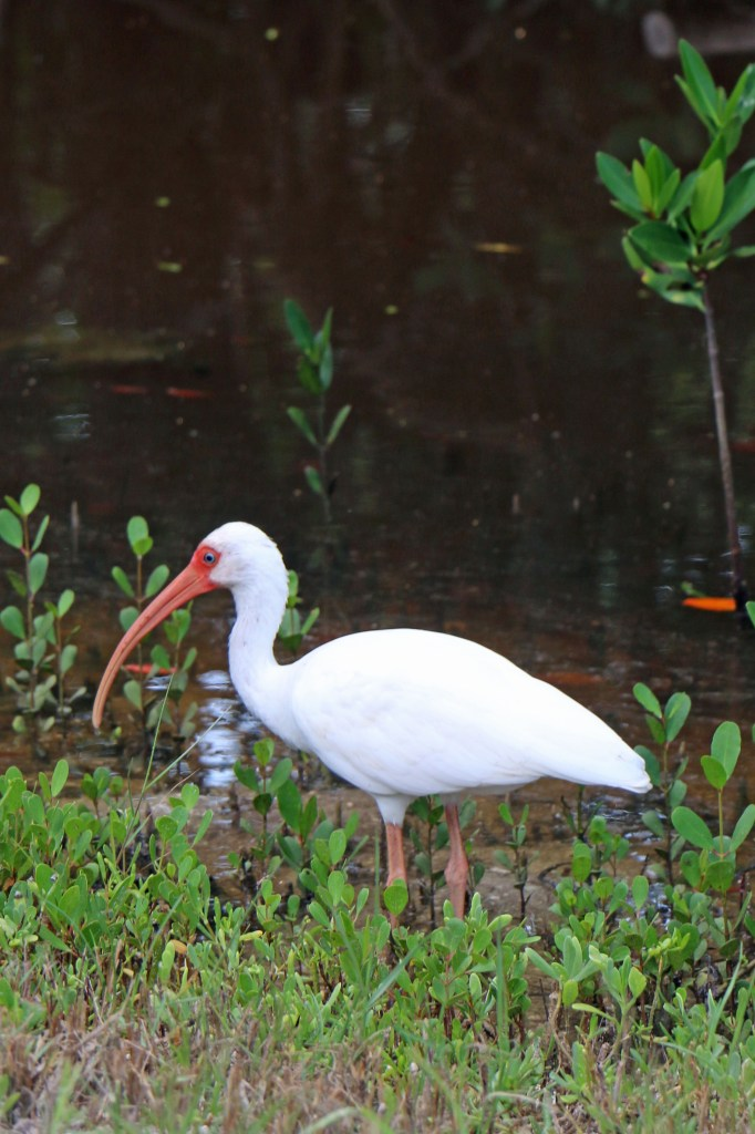 Ibis at JN Ding Darling NWR