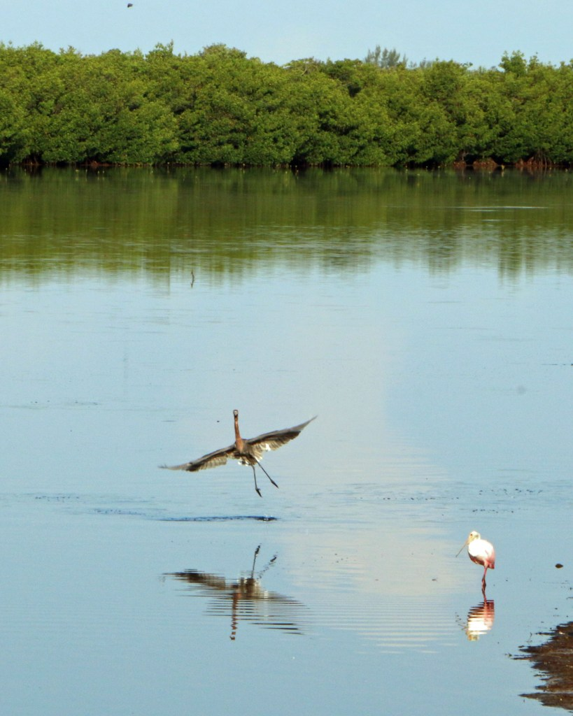 red heron dancing at JN Ding Darling NWR