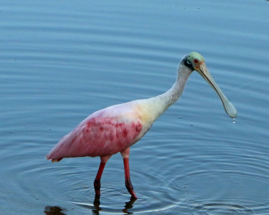 water on beak of Roseatte Spoonbill at JN Ding Darling NWR