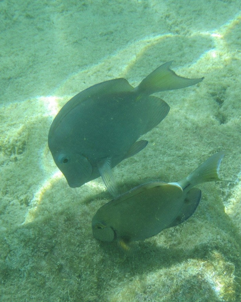 2 fish while snorkeling in Aruba
