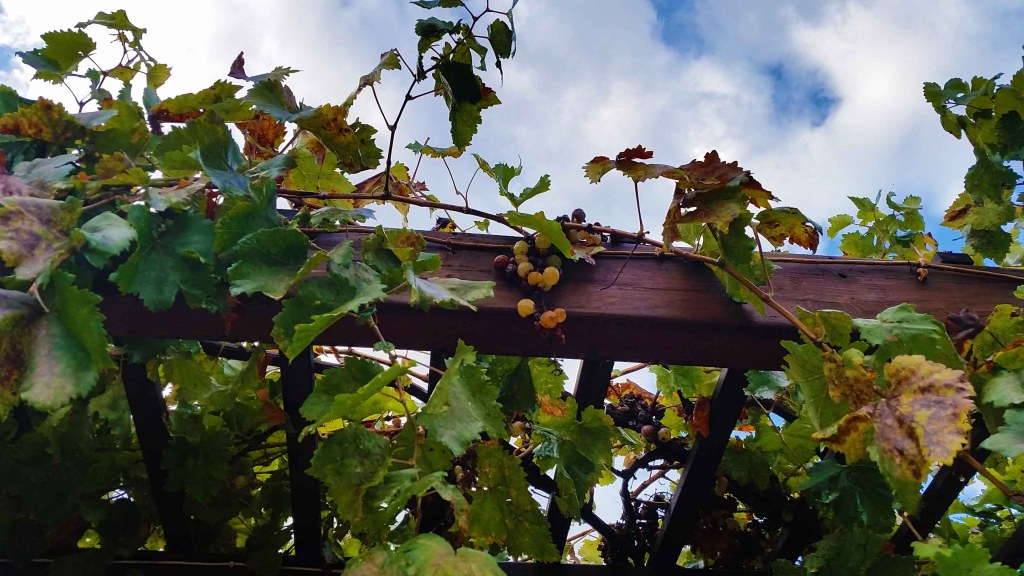Blog Grapes on pergola at entrance of Minoan Ruins
