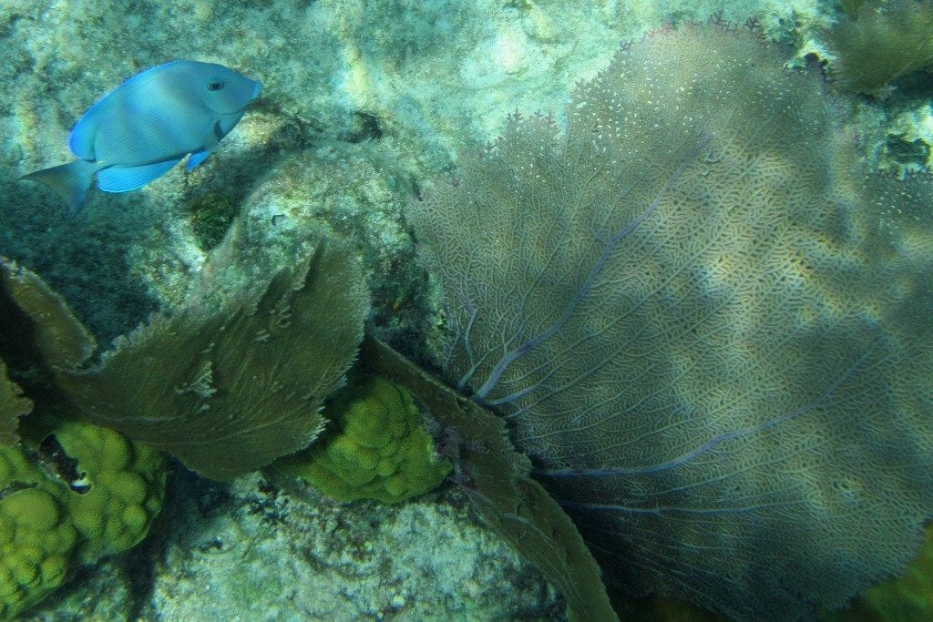 blue fish in coral Belize