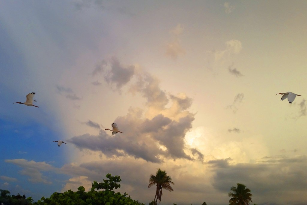 Ibis flying overhead Sanibel Island