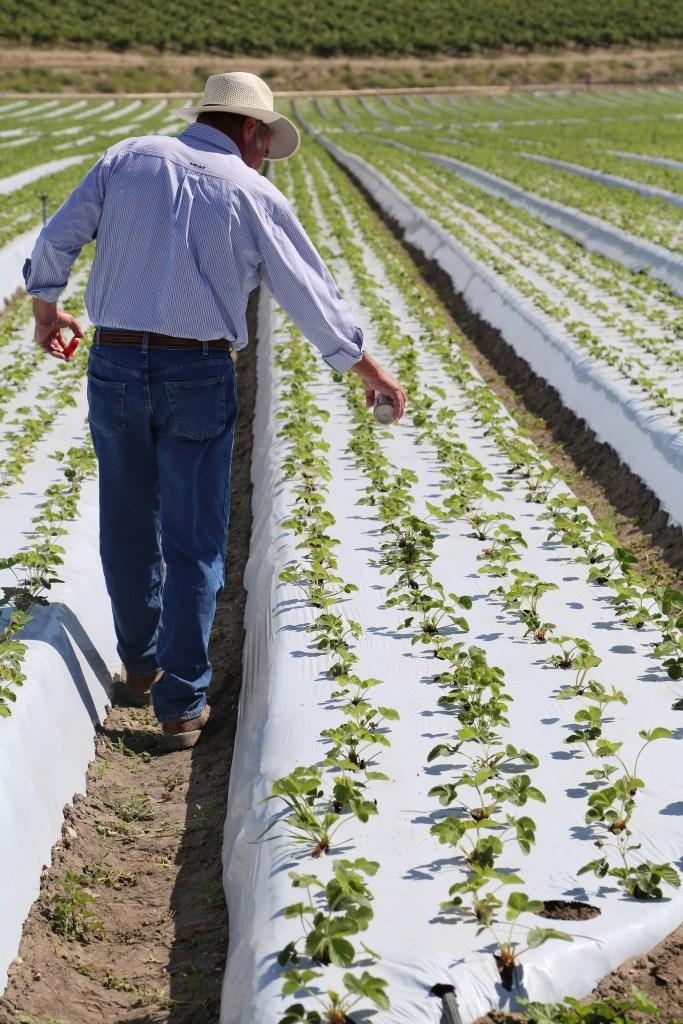 organic strawberry farm providence farms