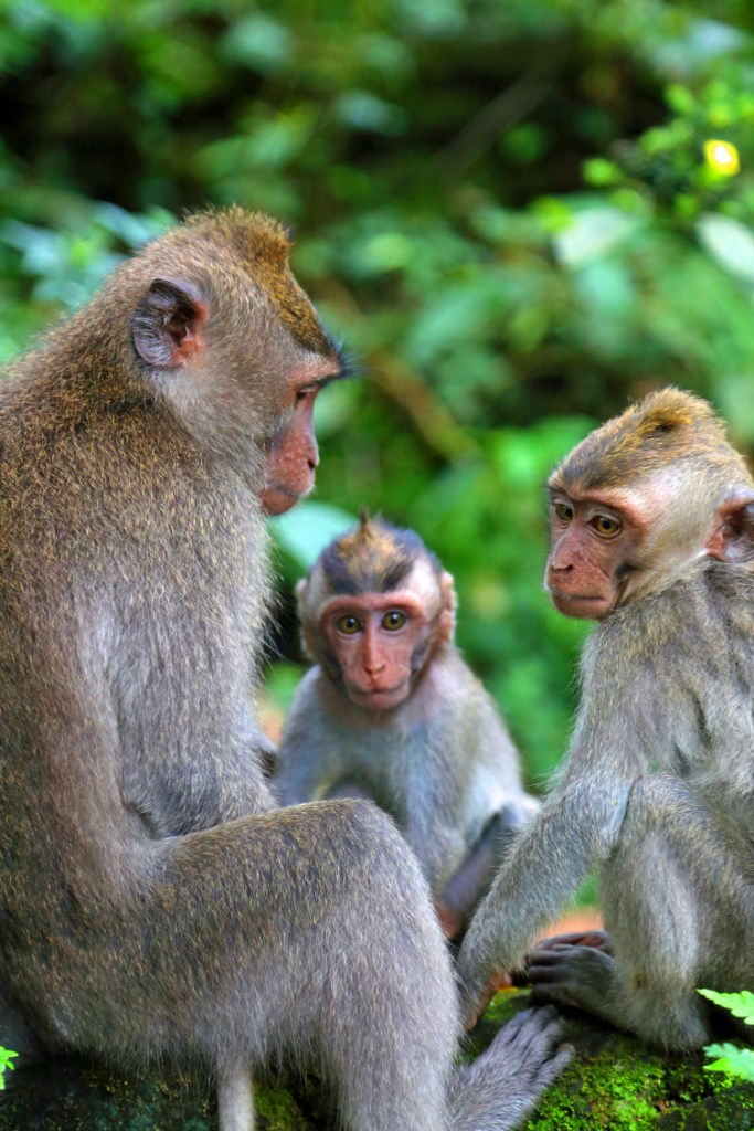 Monkys at the Ubud Monkey Forest Bali