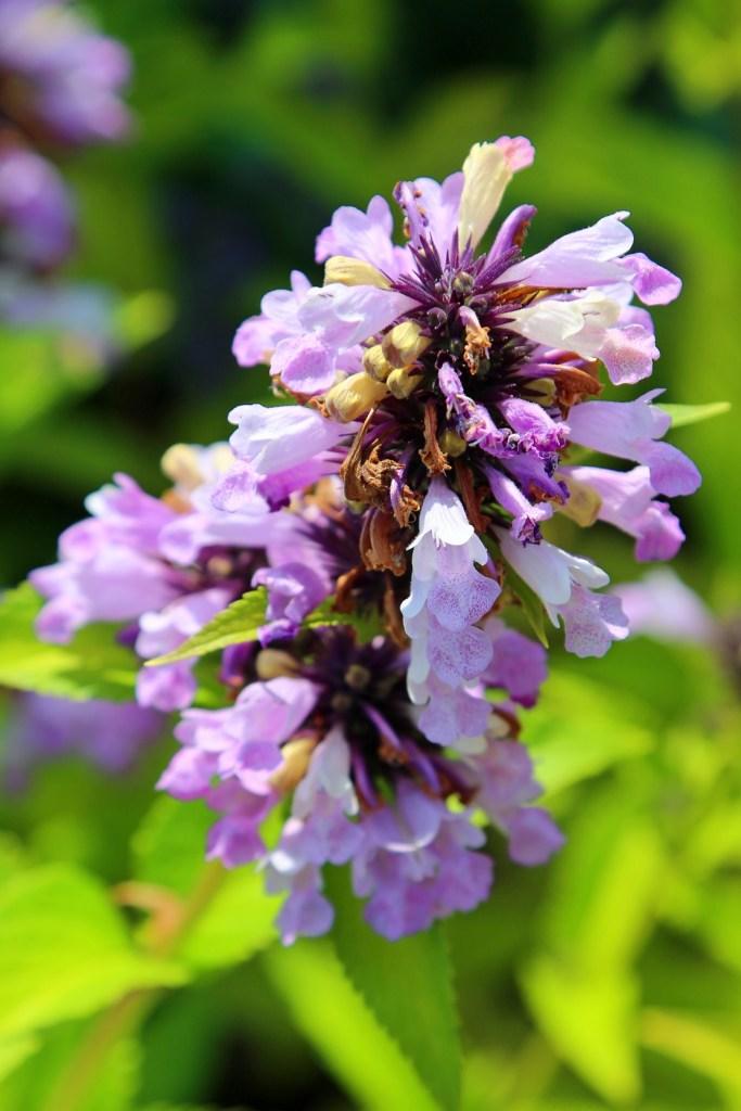 Purple Flowers at Kingsbrae Gardens