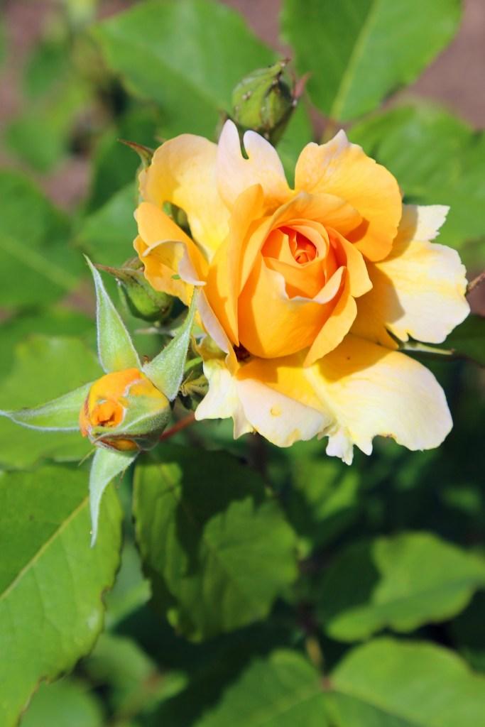 Yellow Rose Kingsbrae Gardens