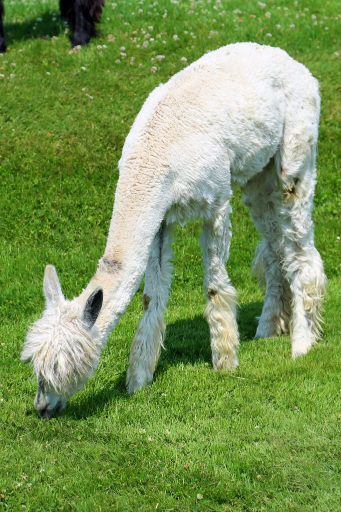 alpaca at Kingsbrae Garden