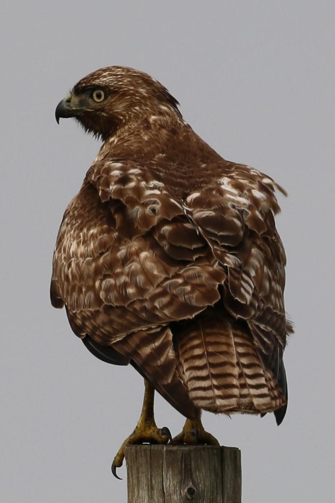 Hawk at Point Reyes National Seashore
