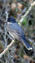 bird Grousse Savvane
